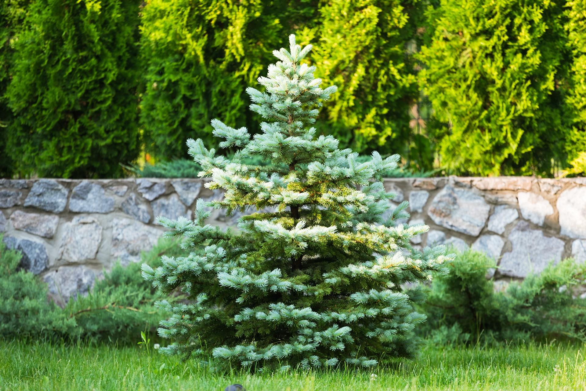 Weihnachtsbaum im Garten einpflanzen