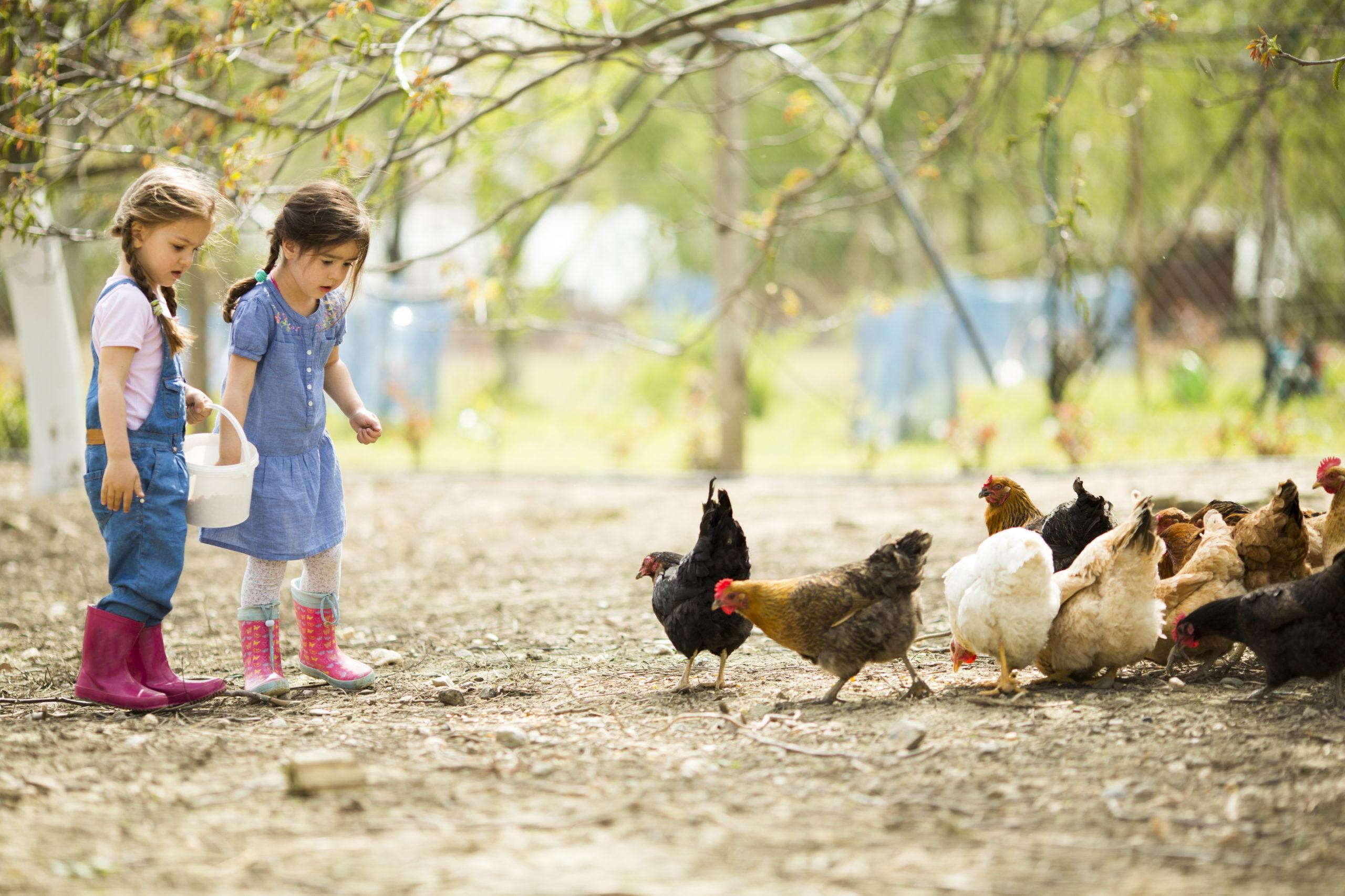 Hühner im Garten halten Kinder